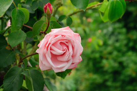 Pink rose Stock Photo - 15217638