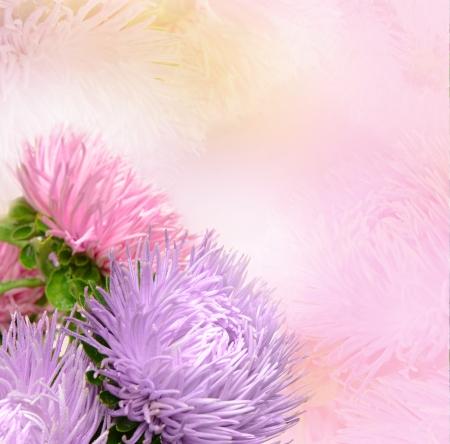 Aster flowers Standard-Bild