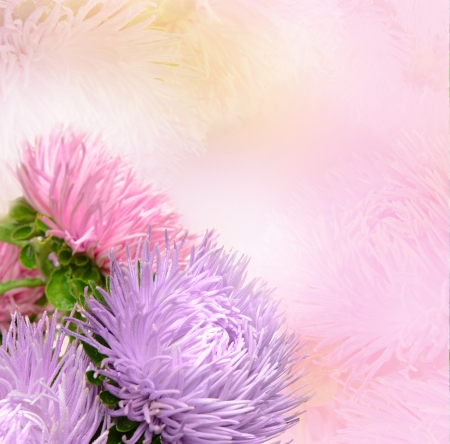 pastel colors: Aster flowers Stock Photo