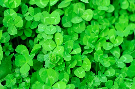 Clover plants Stock Photo - 15282942