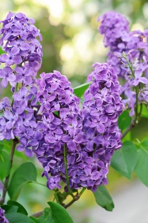 Zweig der lila Blüten Standard-Bild - 16102858