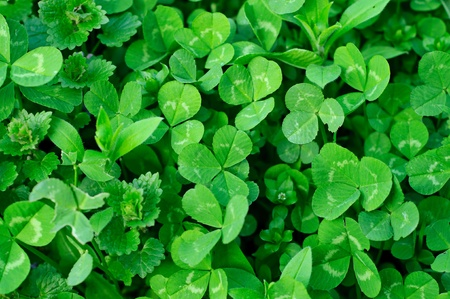 Clover plants photo