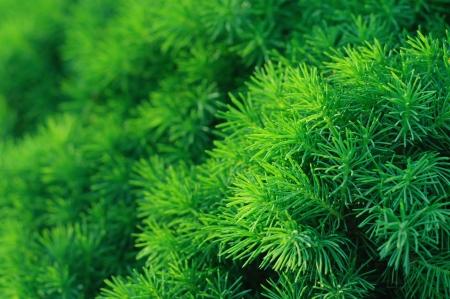 Conifer tree background