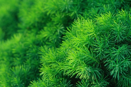 Conifer tree background photo