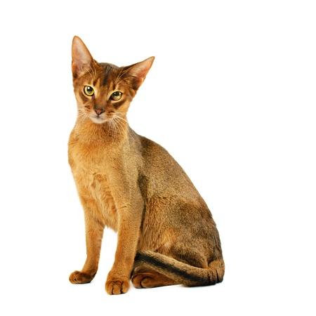 Gato abisinio Foto de archivo - 16751650