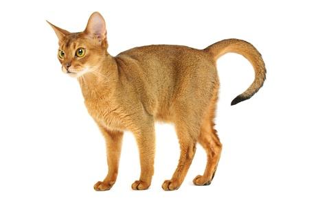 abyssinian cat: Abyssinian cat