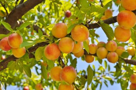 ripening: Plum tree with fruits