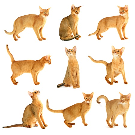 cat tail: Abyssinian cat collection Stock Photo