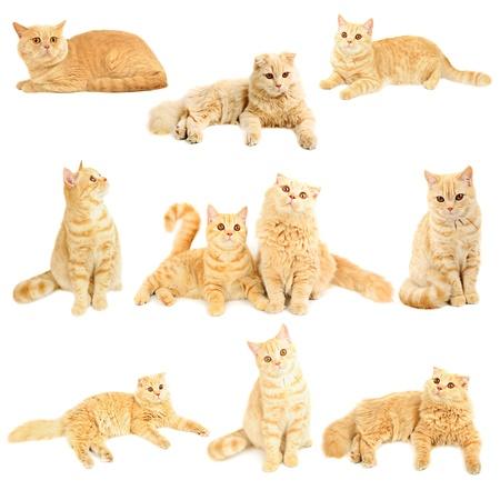 스코틀랜드 고양이 컬렉션 스톡 콘텐츠