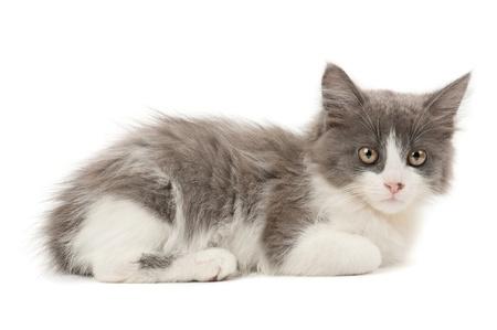 bicolor: Grey and white kitten Stock Photo