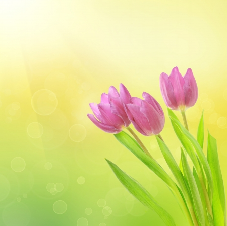 closeup: Tulip flowers