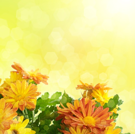 Chrysanthemum floral background photo