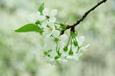 Cherry flowers photo