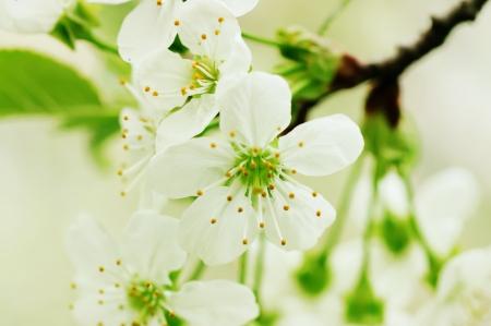 Fleurs de cerise Banque d'images - 20107259