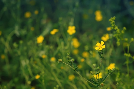 Buttercup flowers photo