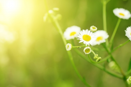 Wild camomile flowers photo