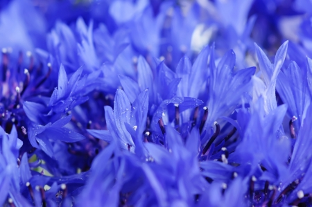 cornflower: Cornflower background Stock Photo