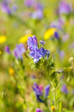 Blue meadow flower, floral background, macro image photo