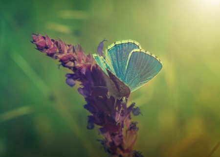 Blue butterfly sitting on meadow violet  flower, retro vintage hipster image photo