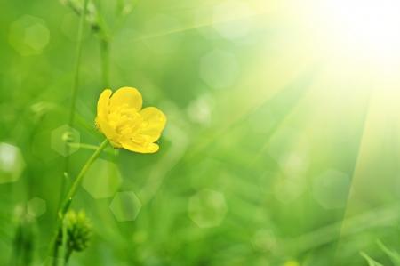 キンボウゲの黄色の花と太陽光線と緑の草原