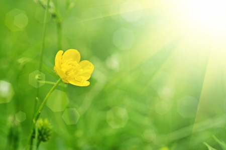 Buttercup yellow flower on the green meadow with sun rays