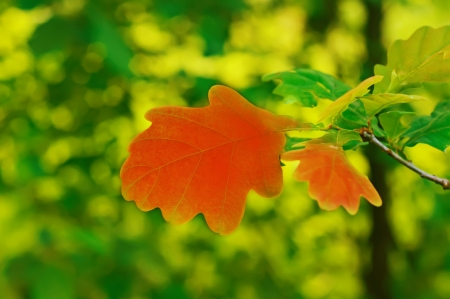 Autumn background with red oak leaf, selective focus Stock Photo - 20498745