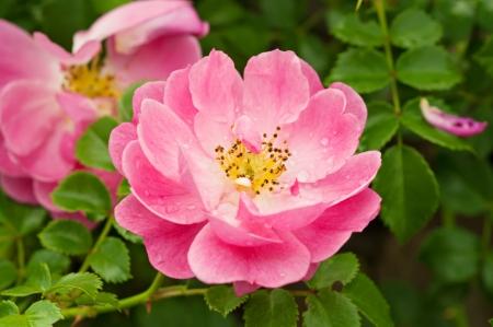 Bloemen van de hondsroos (rozenbottel) groeien in de natuur