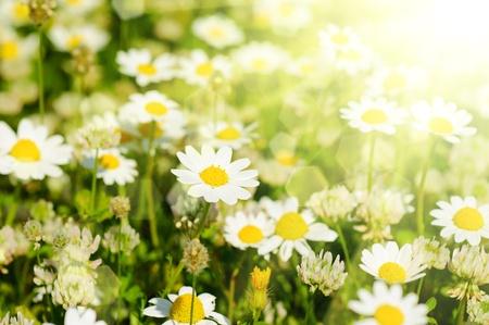 Wild camomile flowers Stock Photo - 21235057