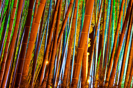 Bamboo forest with colorful illumination at night photo