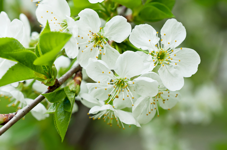 apple blossom: Blossoming of cherry flowers in spring time with green leaves, macro Stock Photo