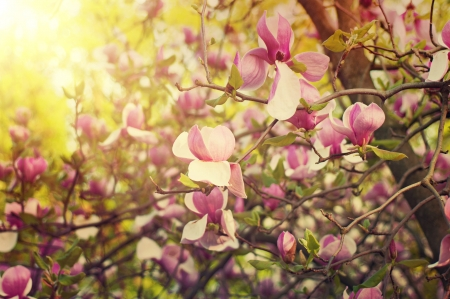 magnolia flowers: Blossoming of magnolia flowers in spring time, sunny vintage floral background Stock Photo