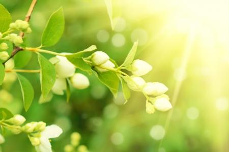 tree jasmine: Jasmine flower growing on the bush in  garden with sun rays and bokeh Stock Photo