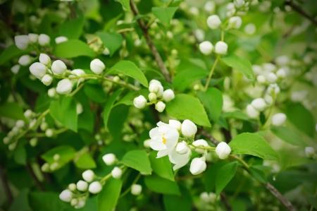 tree jasmine: Jasmine flower growing on the bush in  garden Stock Photo