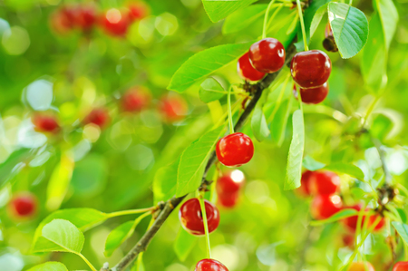 Cherry tree with red fruits growing in the garden photo