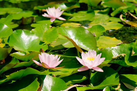 Blossoming of pink lily flowers in the swamp, natural background photo