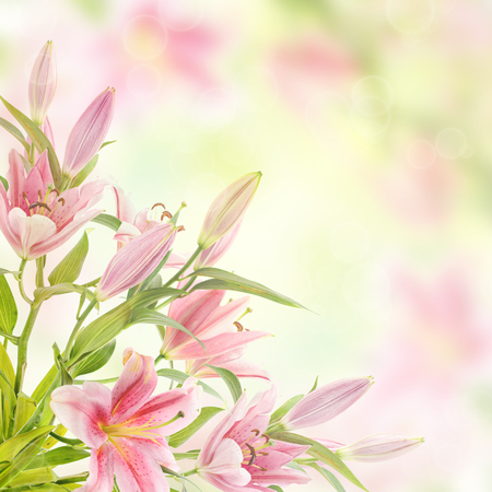 magenta flowers: Pink lilies with copy space, floral natural background