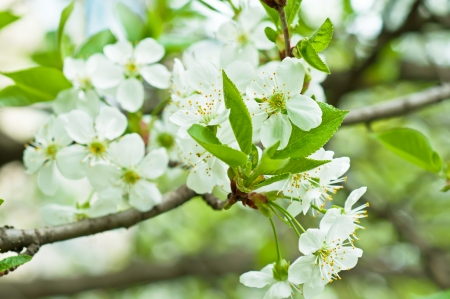 Blossoming of cherry flowers in spring time with green leaves, macro Zdjęcie Seryjne
