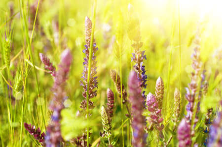 Violet meadow flower with sun rays, floral background photo
