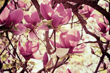 Blossoming of magnolia flowers in spring time, retro vintage hipster image photo