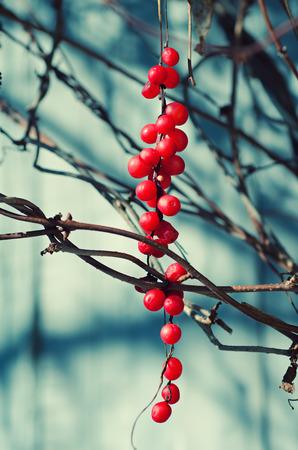 adaptogen: Schisandra  berries against wooden blue desk, autumn natural