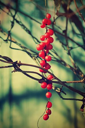 adaptogen: Schisandra  berries against wooden blue desk, autumn natural vintage background