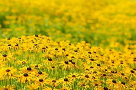 Rudbekia flowers field, blossoming at summer time, floral  photo