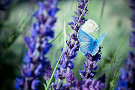 medow: Blue butterfly sitting on meadow violet  flower, retro vintage hipster image Stock Photo