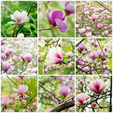 Collage from nine magnolia spring flower images photo