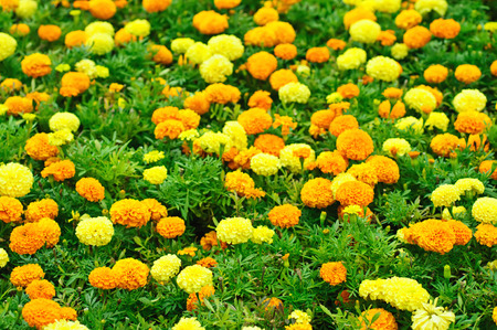 Calendula flowers field, blossoming at summer time, floral background photo