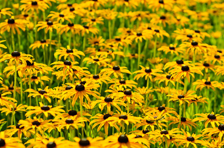 hirta: Rudbekia flowers field, blossoming at summer time, floral background