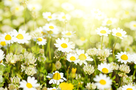 Wild camomile flowers growing on green meadow, macro image with sunlight photo