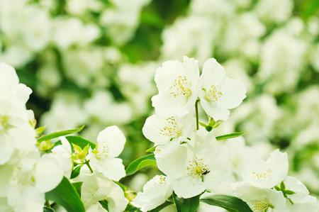 Jasmine flower growing on the bush in  garden, floral background photo