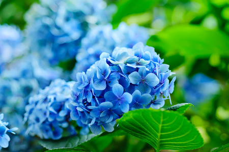 Many blue hydrangea flowers growing in the garden, floral background photo