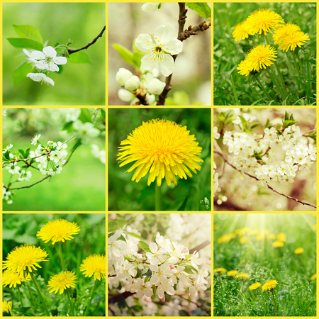 Collection of cherry flowers in spring time with green leaves, macro photo